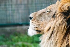 lion-721114